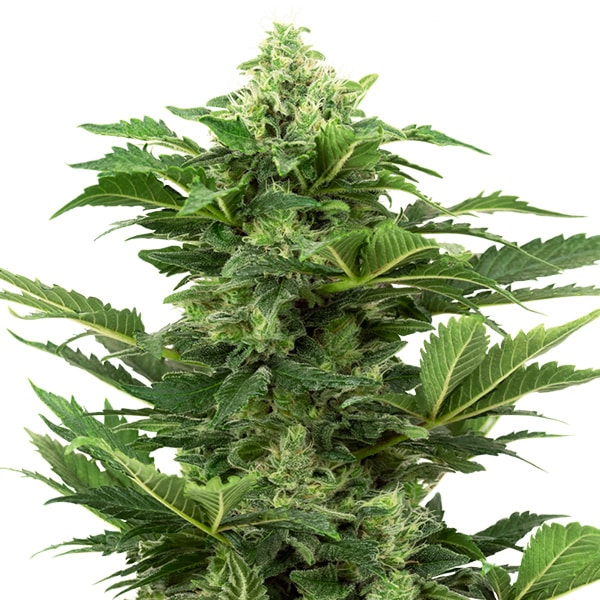 Buy Afghani Pearl Auto Cannabis Seeds from Sensi Seeds online at HollandsHigh - Fast & Discrete world wide shipping!