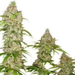 Buy Banana Kush Cake Cannabis Seeds from Sensi Seeds online at HollandsHigh - Fast & Discrete world wide shipping!