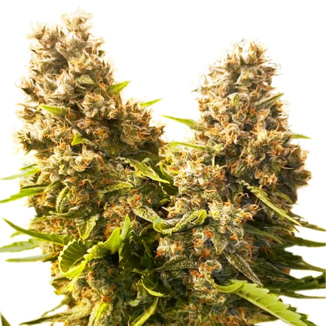 Buy Banana Kush Cake Automatic Feminized Cannabis Seeds from Sensi Seeds online at HollandsHigh! Fast & Discrete worldwide shipping! Check out all our Sensi strains!