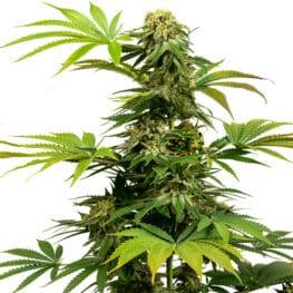 Black Harlequin from Sensi Cannabis Seeds