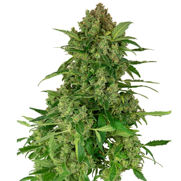 Buy Blacklights CBD Feminized Cannabis Seeds from Sensi Seeds online at HollandsHigh! Fast & Discrete worldwide shipping! Check out all our Sensi strains!