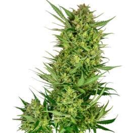 Buttercream Gelato Feminized Cannabis Seeds