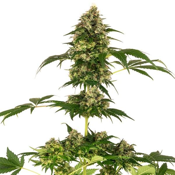 Cobalt Haze Cannabis Seeds