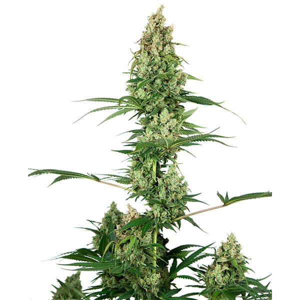 Buy Silver Fire Cannabis seeds from Sensi Seeds online at Hollandshigh!
