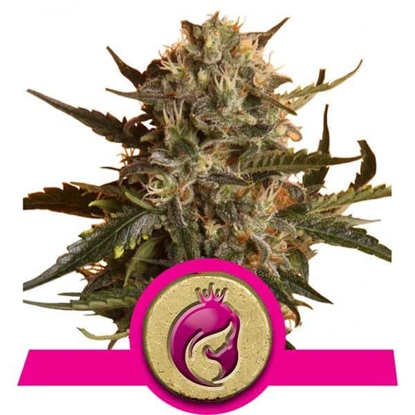 Mother Gorilla Cannabis Seeds