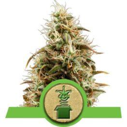 Royal Jack Automatic Cannabis Seeds