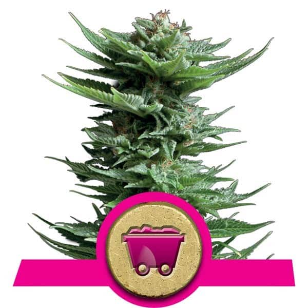 Shining Silver Haze Feminized Cannabis Seeds