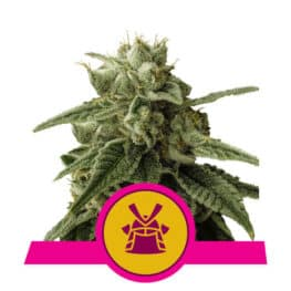 Shogun Cannabis Seeds Royal Queen Seeds