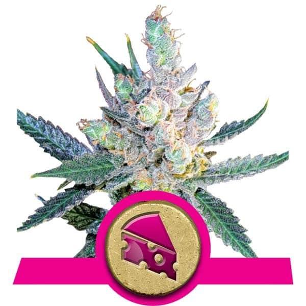 Royal Cheese Feminized Cannabis Seeds