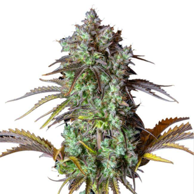 big bud autoflower