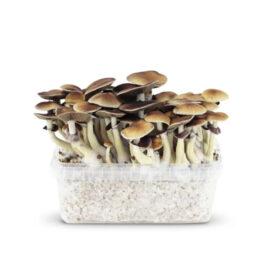 mokum magic mushrooms paddos
