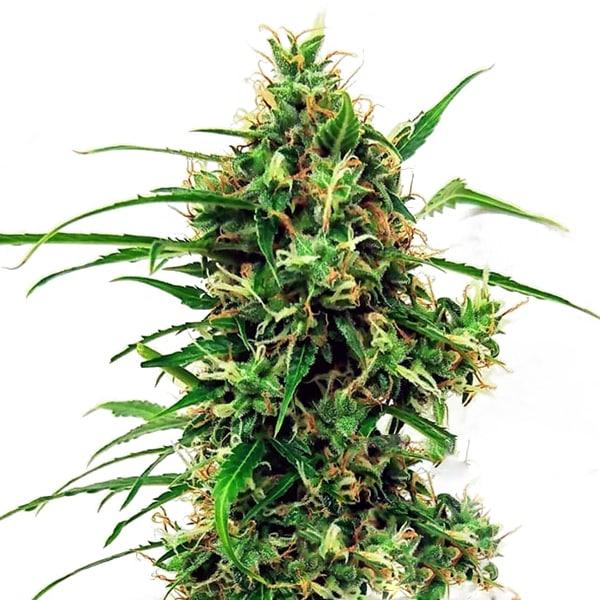 buy critical kush autoflowering feminized cannabis seeds from sensi seeds