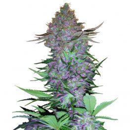 purple skunk automatic