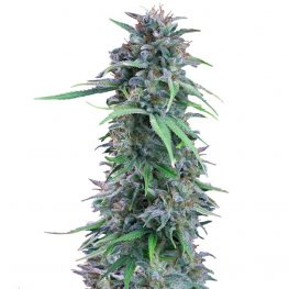 amerikan pie cannabis seeds