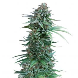 cali deli cannabis seeds