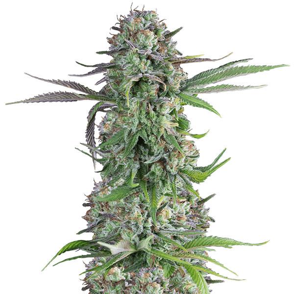 cream brulee cannabis seeds