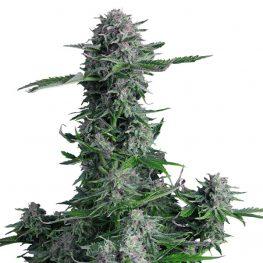 crystal ball auto cannabis seeds