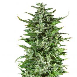 dr hypno cannabis seeds
