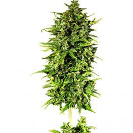 dr hypno cbd auto cannabis seeds