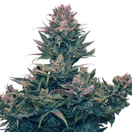 hazenberg am auto cannabis seeds
