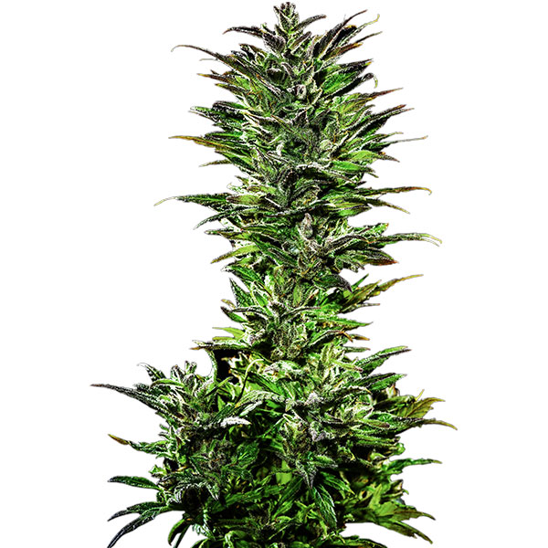 juicy pussy auto cannabis seeds