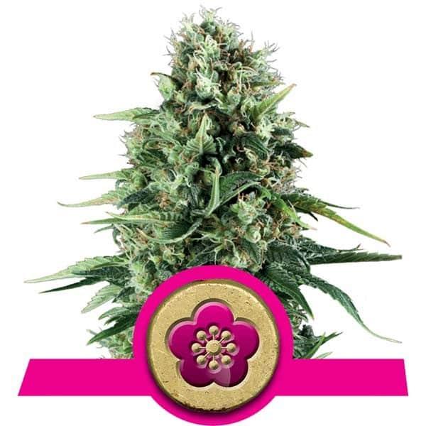 Power Flower Cannabis Seeds