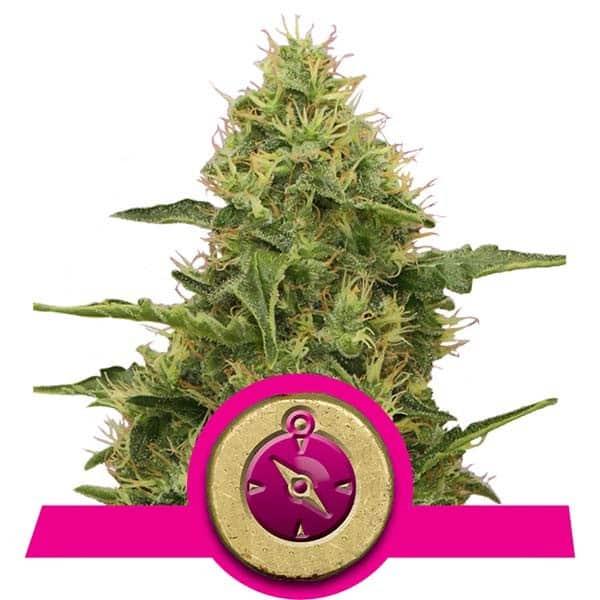 Northern Light Feminized Cannabis Seeds