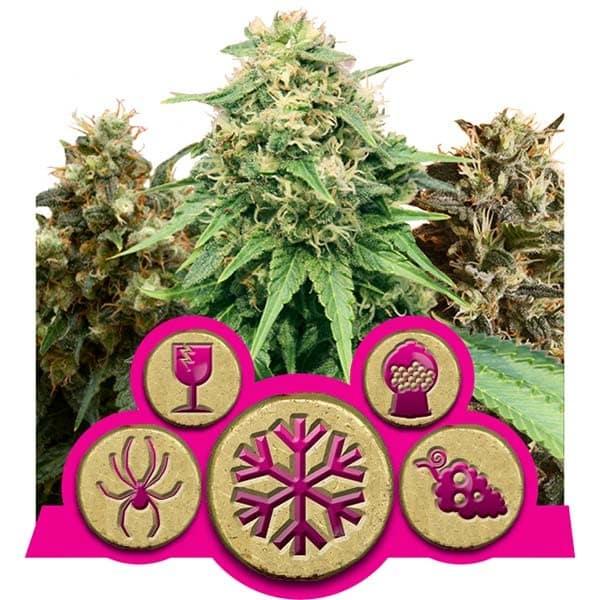 Feminized Mix Cannabis Seeds