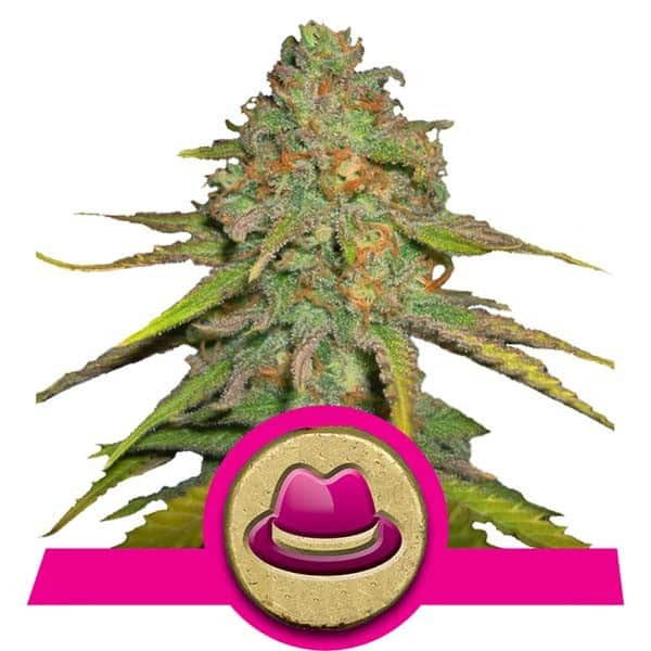 OG Kush Cannabis Seeds from Royal Queen Seeds