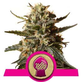 Buy Bubblegum XL Feminized Cannabis Seeds from Royal Queen Seeds online at HollandsHigh! Fast & Discrete worldwide shipping!