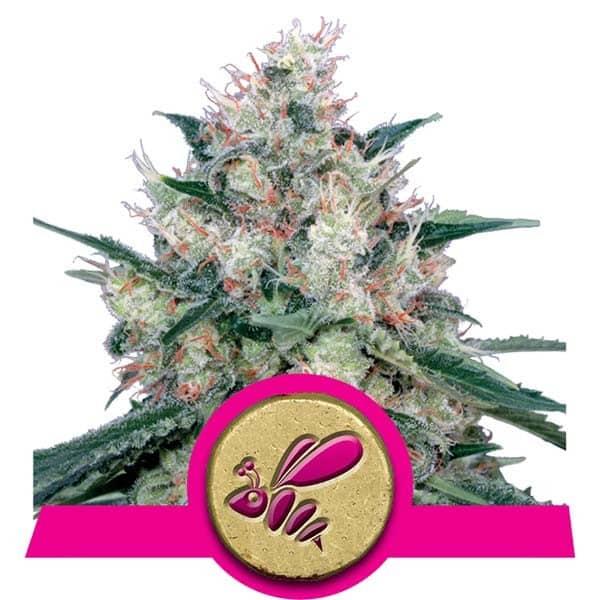 Honey Cream Feminized Cannabis Seeds from Royal Queen Seeds