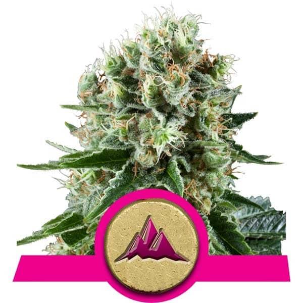 Critical Kush Cannabis seeds