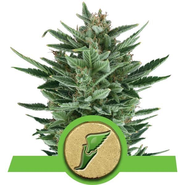Quick One Cannabis Seeds