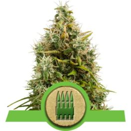 Royal AK Automatic Cannabis Seeds