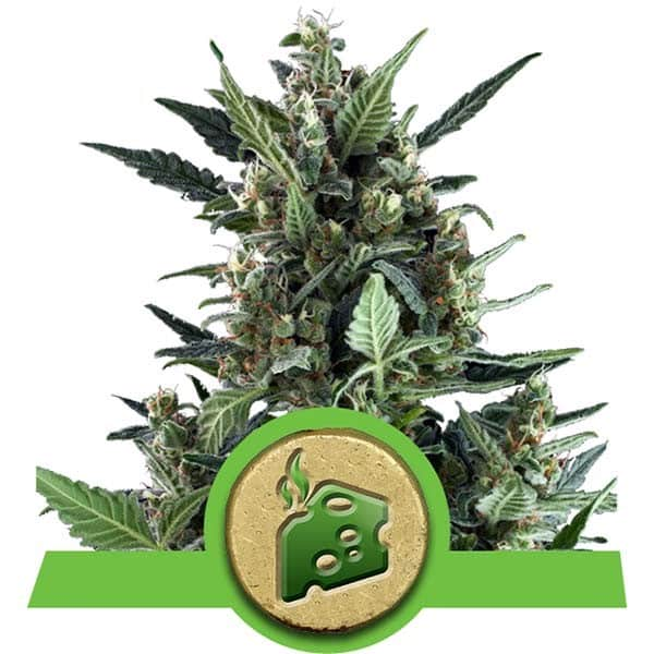Blue Cheese Automatic Cannabis Seeds from Royal Queen Seeds
