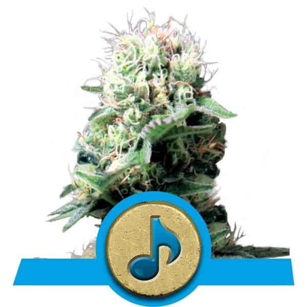Dance World Cannabis Seeds from Royal Queen Seeds