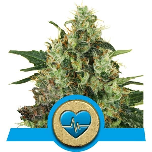 Medical Mass CBD Cannabis Seeds