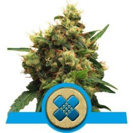 Painkiller XL medical Cannabis Seeds